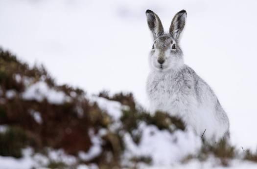 mountain-hare-scotland